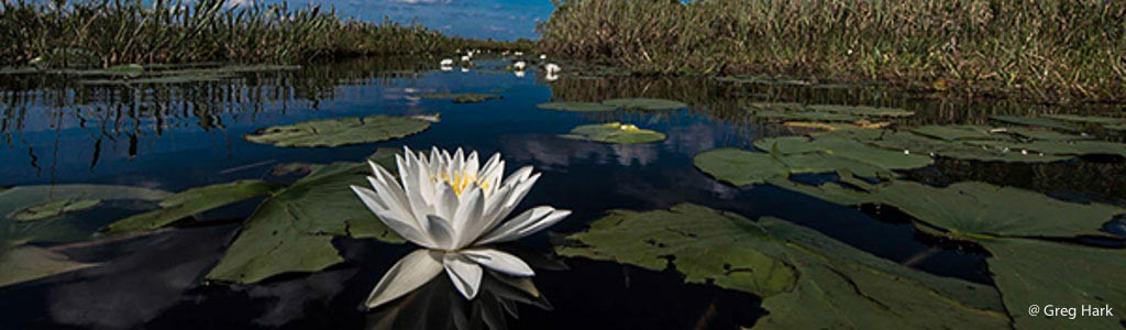 Everglades-Water-Lilly.jpg